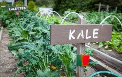 growingkale_bed_1000