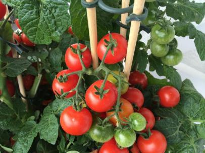tomato-container-gardening